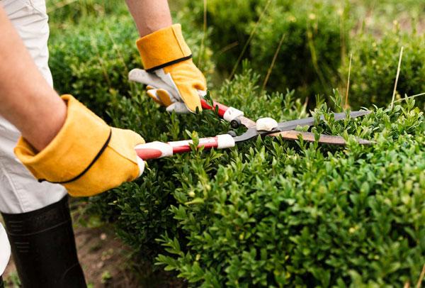 gardener using hedge trimmers